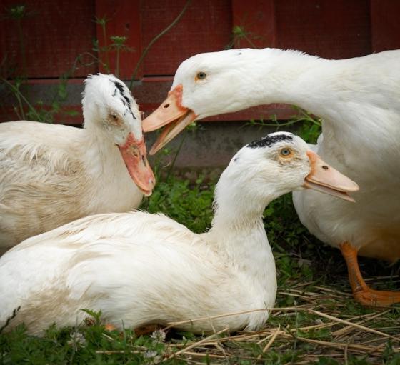 Des oies sauvées d'un élevage de foie gras. © Jo-Anne McArthur