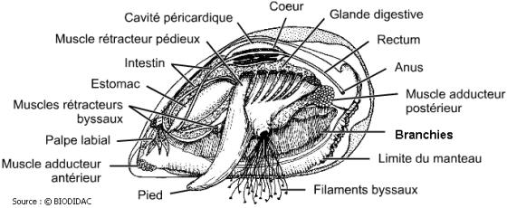 Les moules et certains autres bivalves ne possèdent même pas de cerveau.